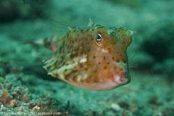 BD-161029-Alor-3587-Lactoria-diaphana-(Bloch---Schneider.-1801)-[Roundbelly-cowfish].jpg